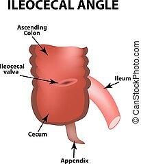 valve., colon., ileocecal, apendix., s, angle., isolado,...