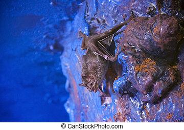 Vampire bat - Common vampire bat (Desmodus rotundus) in the...