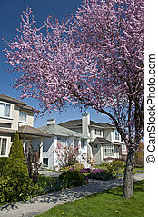 Vancouver - Kerrisdale in the pink blossom