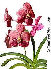 Vanda Elisabeth Barnea orchid - Close up of a beautiful...