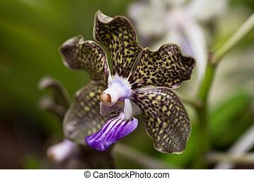 Vanda Mimi Palmer orchid extreme close up - Scented Vanda...