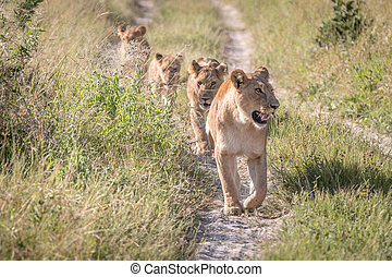 vandrande, stolthet, lejonen, road.