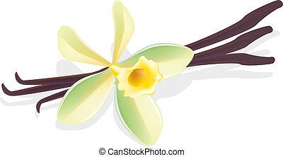 vanilla., 花, illustration., pods., ベクトル, 乾かされた