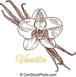 Vanilla aromatic spice vector sketch icon