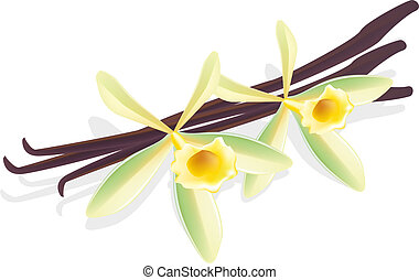 vanilla., flor, illustration., pods., vetorial, secado