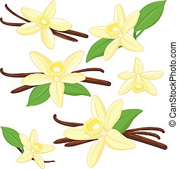 Vanilla flowers and sticks. Vector illustration