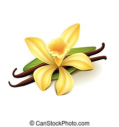 Vanilla isolated on white vector - Vanilla isolated on white...