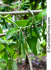 Vanilla plant and green pods - Vanilla plant and green...
