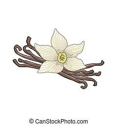 Vanilla vector colored botanical illustration