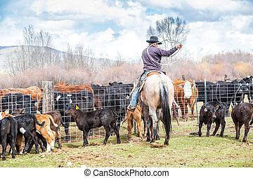 vaqueiros, pegando, recentemente, nascido, bezerros