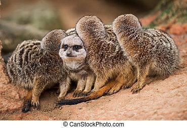 vara, different:, grupp, av, meerkats, tittande