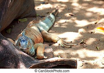 Varan - Big lizard near a tree root looking forward