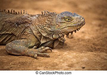 varan crawling on the ground. close-up of a lizard