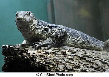 Varan - Full view of a varan in reptile house. Picture taken...
