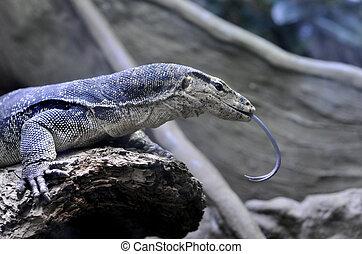 Varan - Half view of a varan in reptile house. Picture taken...