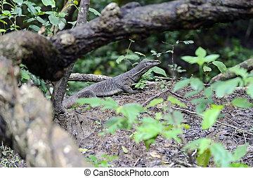 Varan - Iguana in the wild on the island of Sri Lanka