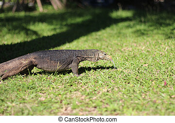 Varan in nature - Giant lizard on a natural background at...