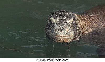 Varan (Komodo Dragon ) in water close-up (slow motion)
