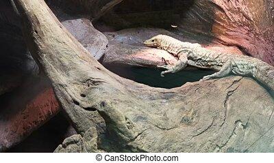Varan lizard resting in a zoo.