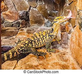 varan - monitor lizard in a cage eat fish