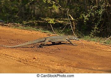 Varan - Monitor lizard in the wild on the island of Sri ...