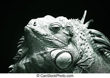 Varan - Portrait of a lizard close-up in zoo. Bali. ...