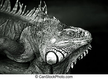Varan - Portrait of a lizard close-up