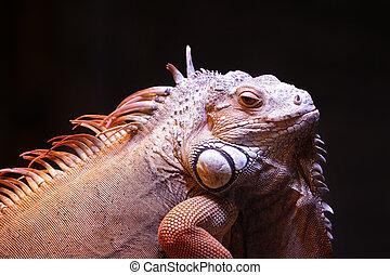 Varan - Portrait of a lizard close up