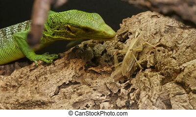 Varanus Prasinus Reptile Hunting - Varanidae reptile hunting...