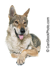 varg,  czechoslovakian, hund