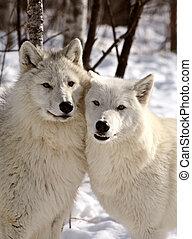 vargar, nära, arktisk, vinter, tillsammans