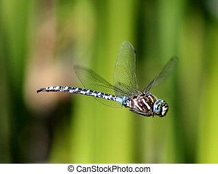 Variable Darner Dragonfly in Flight - A Variable Darner ...