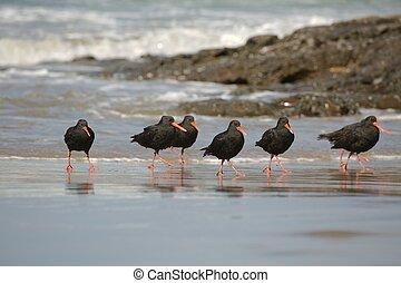 variable, oystercatchers, ligne