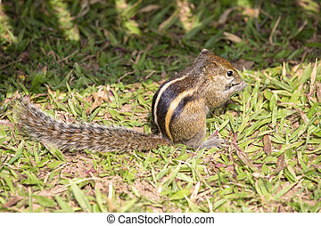 Variable squirrel or Finlayson's squirrel or Callosciurus finlaysonii, on the green grass in a Bangkok park. Dwells in Myanmar, Thailand, Cambodia, Philippines, India