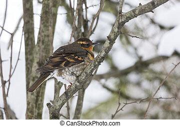 Varied Thrush Female bird at Richmond BC Canada