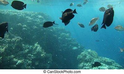 variedade, de, peixe, de, a, mar vermelho