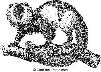variegata), 型, 白黒, (varecia, lemur をruffed, engraving.