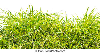 variegata, gras