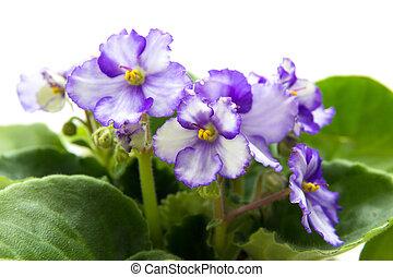 variegated african violet - variegated aftrican violet, ...