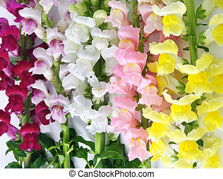 variegated antirrhinum (snapdragon) flower background -...