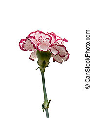 Variegated Carnation on a white background