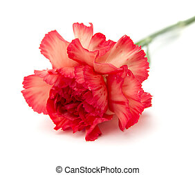 variegated carnation - variegated red and orange carnation...