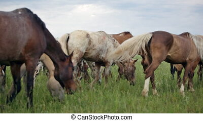 variegated herd of horses slowly goes on a pasture