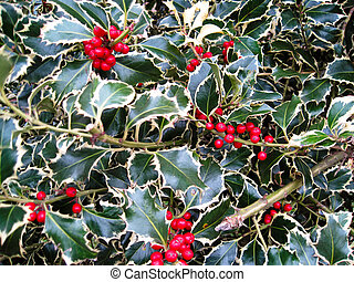 Variegated Holly bush