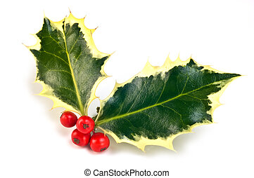 Variegated holly sprig with vivid red berries isolated on white background in horizontal format