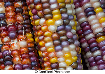 Variegated Indian Corn - Colorful ears of variegated Indian...
