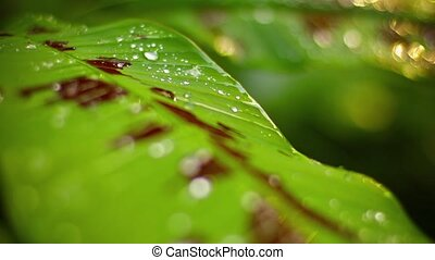 Video 1080p - Selective focus shot of a dew-spotted, variegated leaf on a wild jungle plant in Thailand