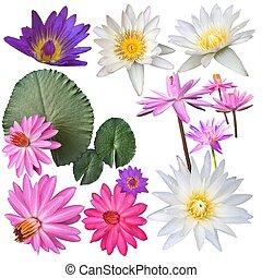 varietà, waterlily, o, fiori, collezione, naturale, loto