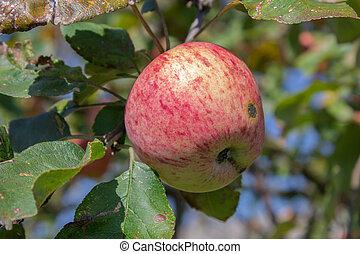 varieties of apples Glory winners