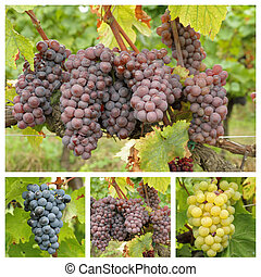 variety of bunch of grapes, Tuscany
